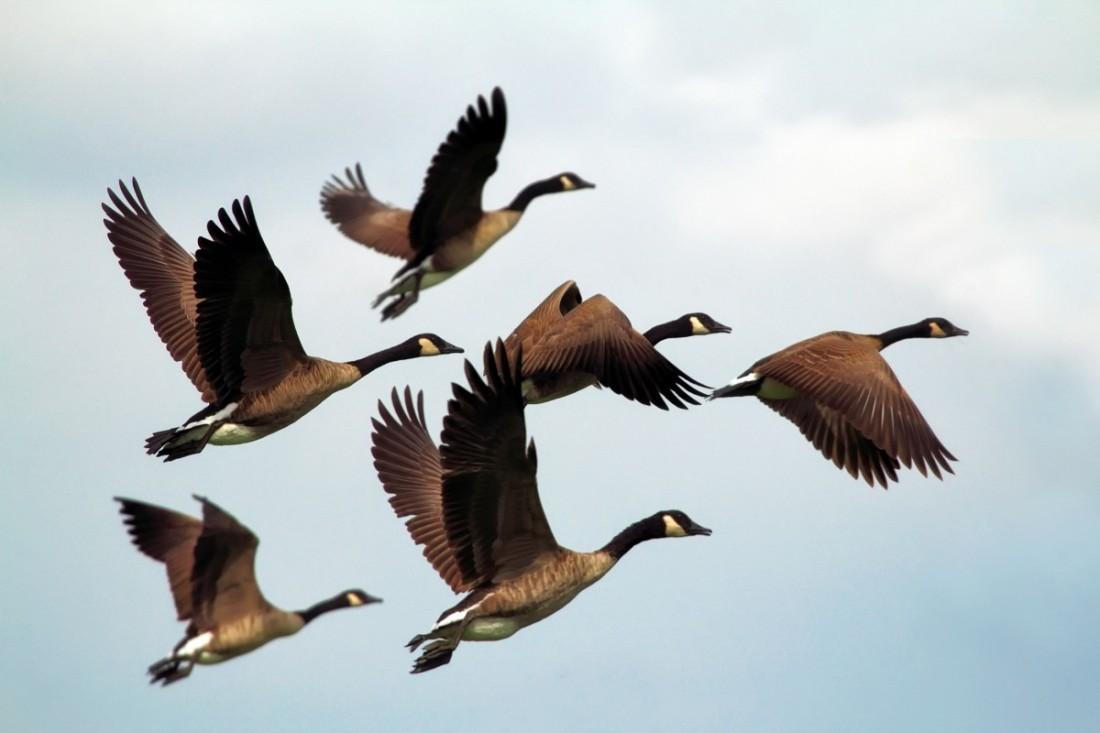 geese_birds_flock_wildlife_flying_formation_sky_clouds-1200909